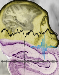 Hippocampal oscillations: Neural Interaction in Periods of Silence such as deep sleep. Picture: Nikos Logothetis / Max Planck Institute for Biological Cybernetics.
