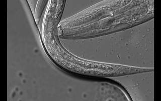 Pristionchus pacificus is preying upon a smaller Caenorhabditis elegans worm. Photo: Andreas Weller / Max Planck Institute for Developmental Biology.