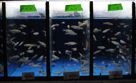 Nicolas Rohner catches zebrafish for his experiment, Photo: Bernd Schuller/Max Planck Institute for Developmental Biology