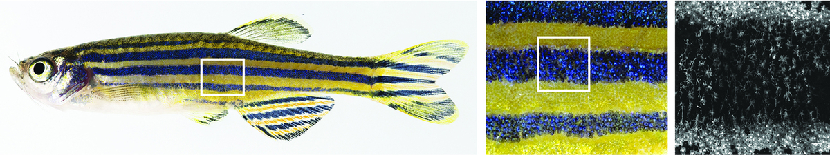 Xanthophores, shown in the rightmost panel, provide yellow colour to the pattern and cover the skin in two distinct shapes.