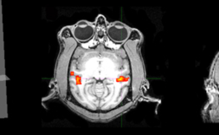 Face-selective activation in a monkey: (left panel, 1) The rendered monkey brain shows the planes indicating the slice locations of panels 2-4, green spots show activated areas. (panels 2-4) Face selective activation (red-yellow) overlaid on anatomical images of the monkey brain.