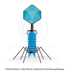 Graphic of a bacteriophage with tail, spikes and needles. Copyright: Martin Vötsch / Max Planck Institute for Developmental Biology