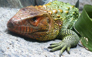 Even though global warming is not increasing temperatures in the tropics as much as in the northern temperate zone and the Arctic, the metabolic effects on cold-blooded creatures that live there, such as this caiman lizard, will be greater than on creatures living farther north. Picture: Tim Vickers; Wikimedia Commons