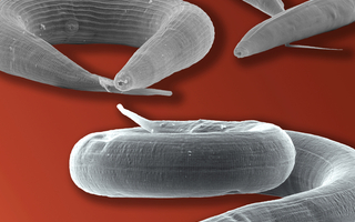 Images taken with a scanning electron microscope showing the parasite Strongyloides papillosus (front) and its distant relatives Pristionchus pacificus (left) and Caenorhabditis elegans (right).Photo: Jürgen Berger / Max Planck Institute for Developmental Biology