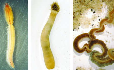 Figure 1 From left to right: an annelid worm, a penis worm, and an acorn worm. These animals are very distantly related to each other but all have the stress hormone noradrenaline, previously known only to exist in vertebrates. Credit: John Gerhart acorn worm image; Mattias Hogvall penis worm image.