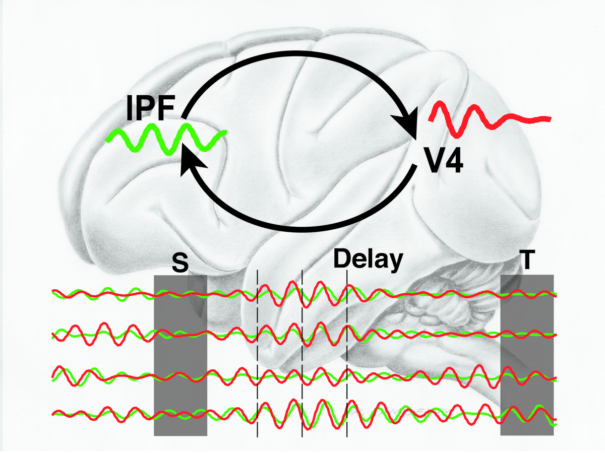 In each of the two brain regions, brain activity showed strong oscillations in a certain set of frequencies called the theta-band. Graphic: Stefanie Liebe, Max Planck Institute for Biological Cybernetics