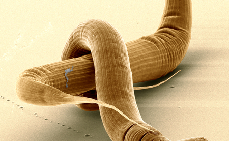 Mating pair of Pristionchus roundworms. Colored Scanning Electron Microscopy image. Jürgen Berger/ Max Planck Institute for Developmental Biology