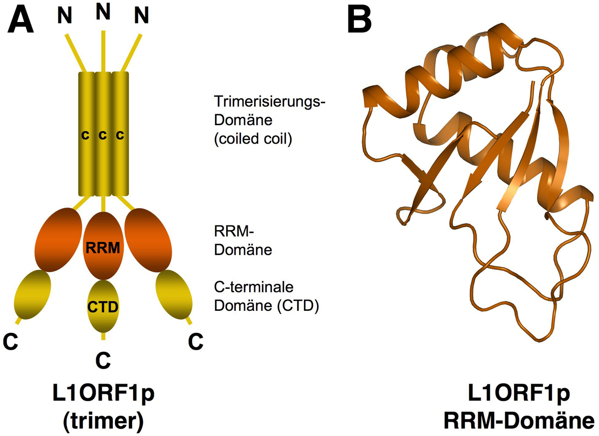 A Scheme of the L1ORF1p trimer, B Crystal structure of the RRM-domain of the human L1ORF1p protein Figure: Elena Khazina and Oliver Weichenrieder / Max Planck Institute for Developmental Biology