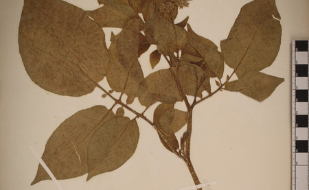 "Solanum tuberosum herbarium specimen collected in the Chonos Archipelago, Chile, by Charles Darwin on the voyage of the ""Beagle"". Image by courtesy of the Cambridge University Herbarium."