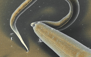 The nematode Pristionchus is a predator. Here it is killing a Caenorhabditis larvae. A peptide on the body surface of its larvae keeps the worm from devouring its own offspring.
